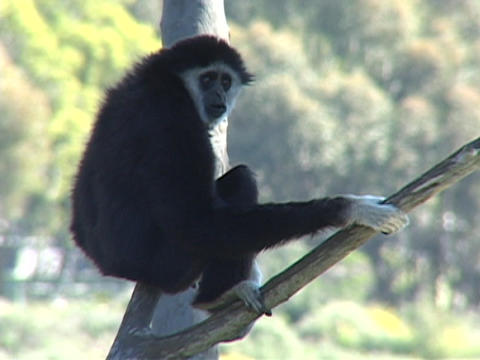 A monkey sits in a tree and looks around Stock Video Footage