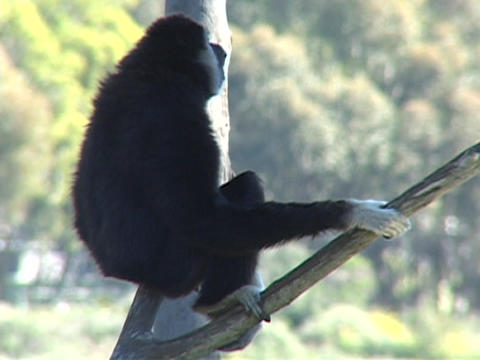 A monkey sits in a tree and looks around Footage