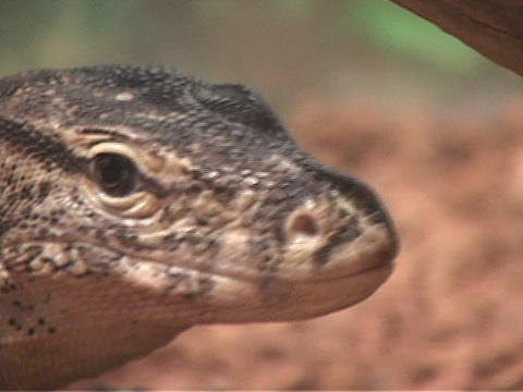 A lizard sticks its tongue out of its mouth Stock Video Footage