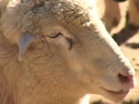 A white sheep looks around Stock Video Footage
