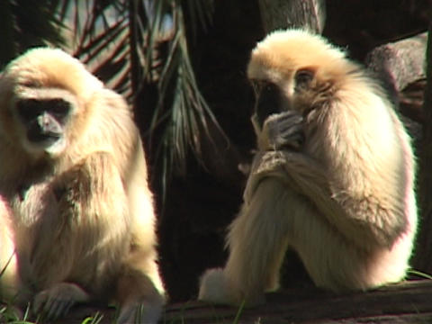 monkeys groom each other Stock Video Footage