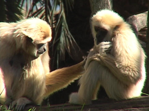 monkeys groom each other Live Action