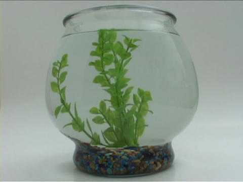 A goldfish swims in a fishbowl Live Action