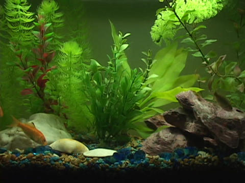 Goldfish and swim in a small fish tank Stock Video Footage