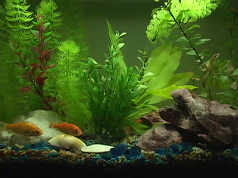 Goldfish and swim in a small fish tank Footage