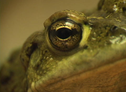 A close-up shot of the side view of a green frog's head Stock Video Footage