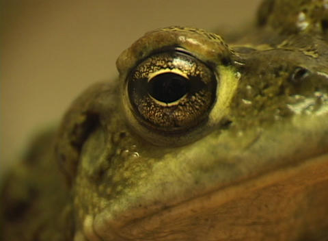 A close-up shot of the side view of a green frog's head Footage