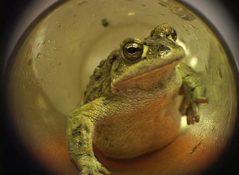 A zoom-in to the head of a green frog crawling through a green glass tube Footage