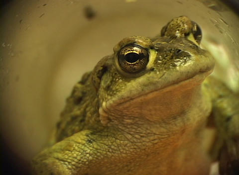 A zoom-in to the head of a green frog crawling through a... Stock Video Footage