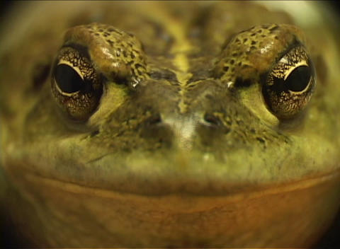 A green frog stares directly at the camera for a close-up... Stock Video Footage