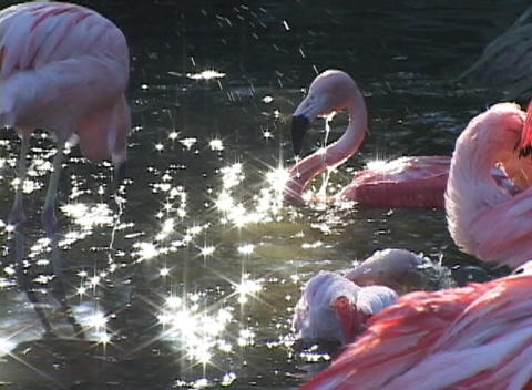 Pink-flamingos splash and groom themselves in a sunlit... Stock Video Footage