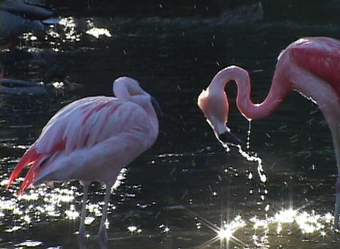 Pink-flamingos splash and groom themselves in a sunlit pool of water Footage