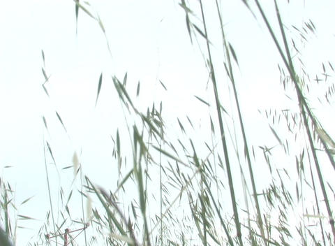 Blades of grass blow in the breeze as a plane passes by Stock Video Footage