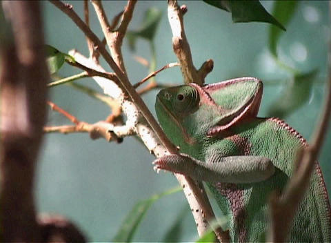 Time-lapse footage of a chameleon on a branch focuses on... Stock Video Footage