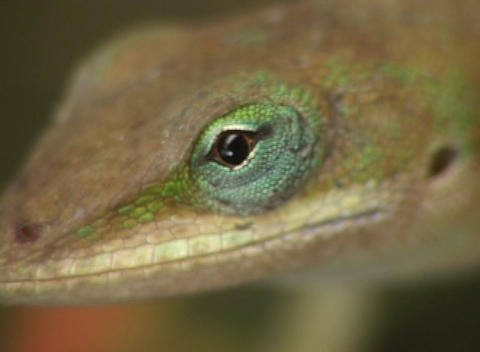 The camera zooms-out from a multi-colored lizard that is... Stock Video Footage
