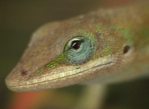 The camera zooms-out from a multi-colored lizard that is perched on a leaf Footage