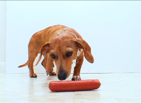 A wiener dog ironically chews on a hot-dog Stock Video Footage