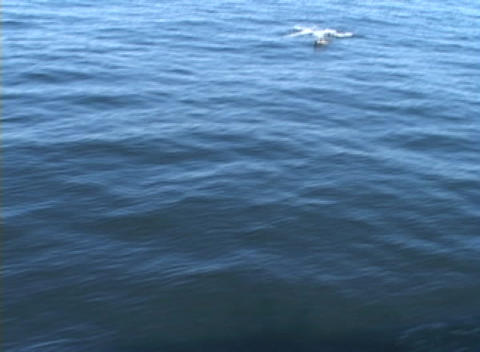 Dolphins jump out of the water as they swim together next... Stock Video Footage