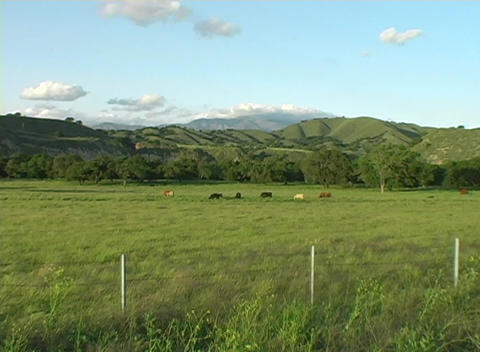 Zoom-in on a herd of cattle grazing in a green meadow Footage