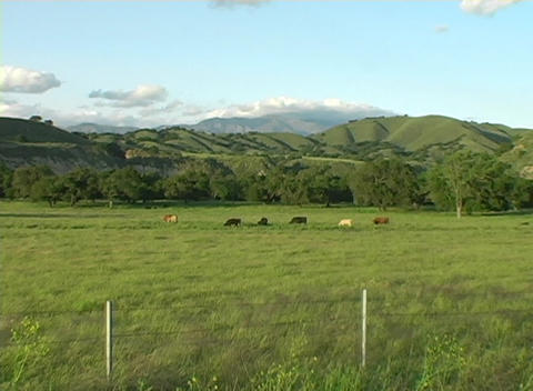 Zoom-in on a herd of cattle grazing in a green meadow Stock Video Footage