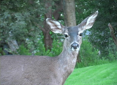 Focusing shot of a doe-deer standing quietly in the woods Stock Video Footage