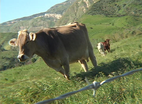 A cow in a beautiful mountain meadow gives the camera an... Stock Video Footage