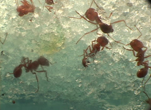 Red ants work together building a crystalline structure Stock Video Footage