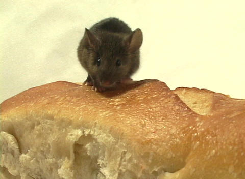Medium shot of a mouse walking on a loaf of bread Footage