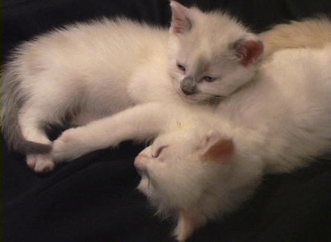 Close-up of a kitten falling asleep while cuddled up to... Stock Video Footage