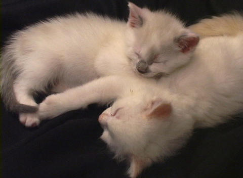 Close-up of a kitten falling asleep while cuddled up to another sleeping kitten Live Action