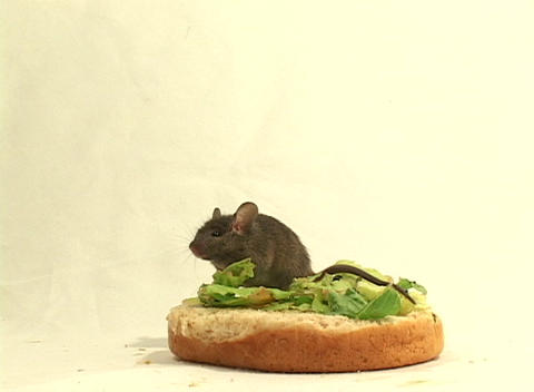 Medium shot of a mouse possibly becoming a snack while having a snack Footage