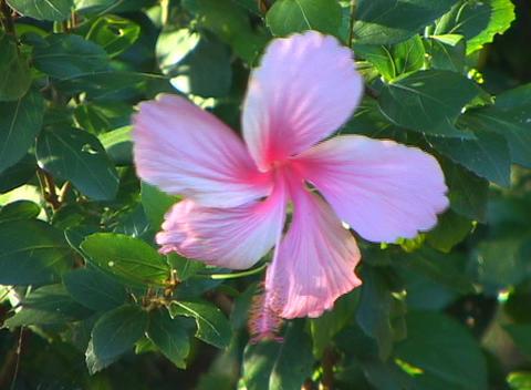 A single lavender, pink and crimson bougainvillea blossom... Stock Video Footage