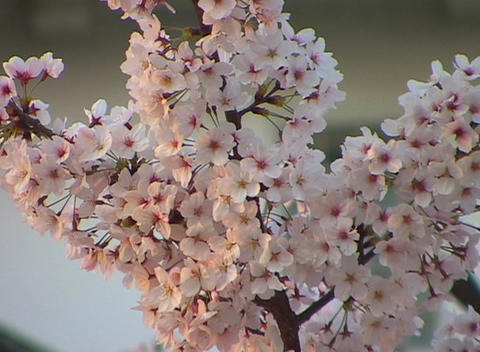 A branch full of cherry blossoms move to the rhythm of a gentle breeze Footage
