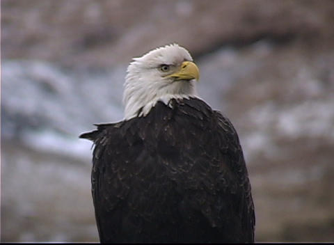 A Bald Eagle's feathers are ruffled from the wind as it... Stock Video Footage