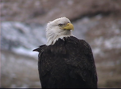 A Bald Eagle's feathers are ruffled from the wind as it surveys its surroundings Footage