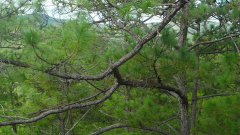 Upper Limbs and Branches of Pine Trees Passing By. Video UltraHD Footage