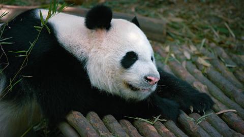 Cute sleeping adult panda Footage