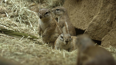 Family of Prairie Dogs Guarding their Den. Footage UHD Footage