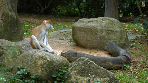 Cute Patas Monkey on a Rock at the Zoo. UltraHD video Footage