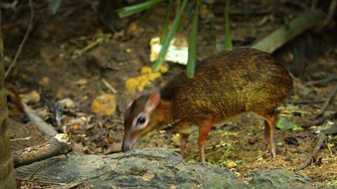 Pair of Adorable Chevrotains Foraging at the Zoo. UltraHD video Footage