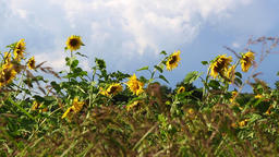 Sunflowers on a meadow Live Action