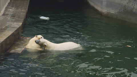 Polar bears at the zoo Footage