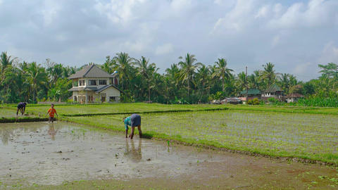 Local laborers Working in the Rice Fields. near the town of Ubud Footage