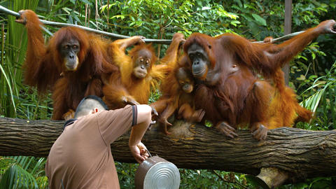 Caretaker caring for a congress of orangutans at a popular zoo in Singapore Footage