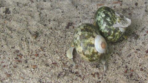 Two Hermit crabs crawling on the sand Footage