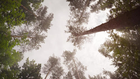 Tall Pine Trees Reaching Skyward in a Wilderness Area Footage