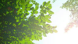 Sunshine Filtering around Tree Leaves with Bird Sounds Footage