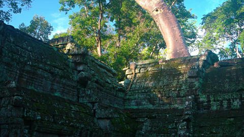 Big tree growing from the ancient ruins. Cambodia. Angkor Footage