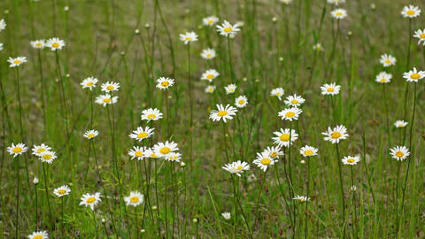 Wild Chamomile Growing in a Field. 4k UltraHD footage Footage