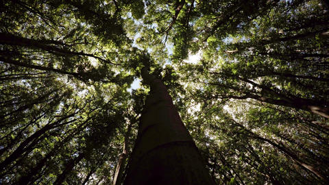 Looking Skyward along the Trunk of a Tree in the Forest Footage